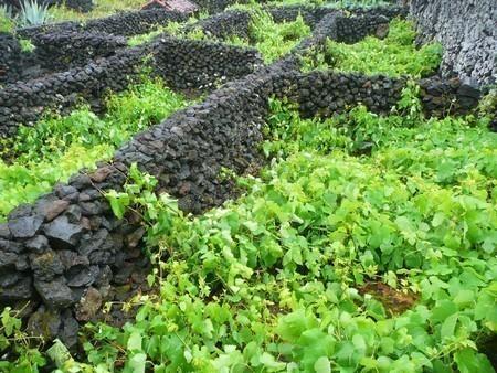 Enclos de vignes sur les pentes du Pico